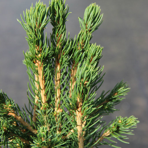 Picea abies 'Tompa' 0