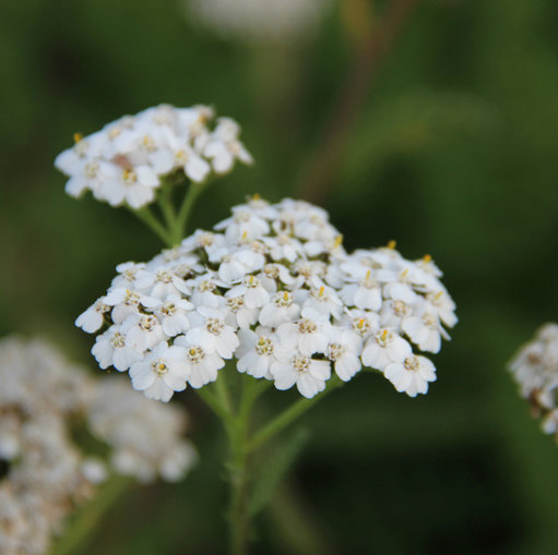 Achillea mill. 'Weisser Beauty' 0