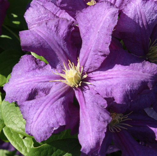Clematis 'Luther Burbank'  0