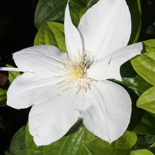 Clematis 'Madame Le Coultre'  0