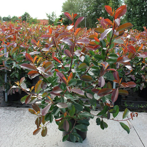 Photinia fraseri 'Red Robin' 1