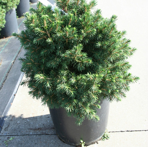 Picea abies 'Tompa' 1