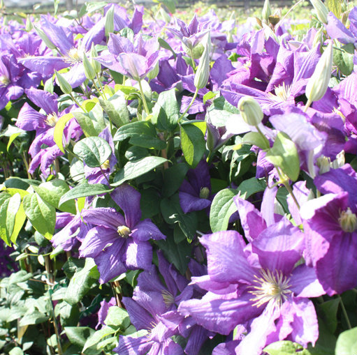 Clematis 'Luther Burbank'  1