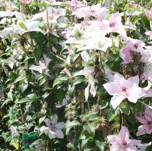 klimplant clematis 39 pink fantasy 39 cont 3 0l 80 100 cm. Black Bedroom Furniture Sets. Home Design Ideas