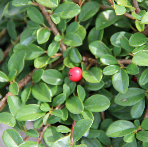 Cotoneaster radicans 'Eichholz' 1