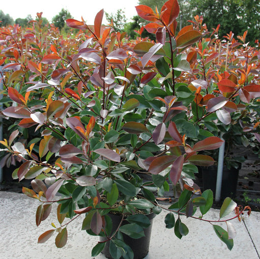 Photinia fraseri 'Red Robin' 2