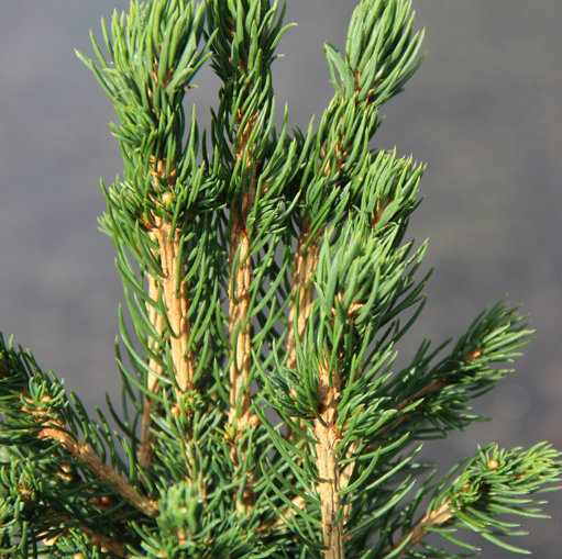 Picea abies 'Tompa' 2