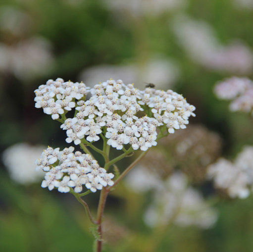 Achillea mill. 'Weisser Beauty' 2