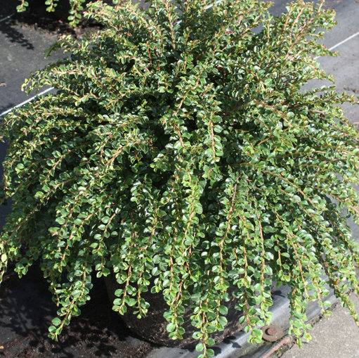 Cotoneaster adpressus 'Little Gem' (Tom Thumb) 2
