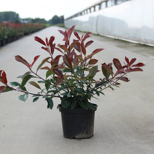 Photinia fraseri 'Red Robin' 3