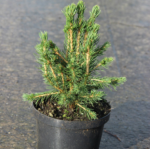 Picea abies 'Tompa' 3