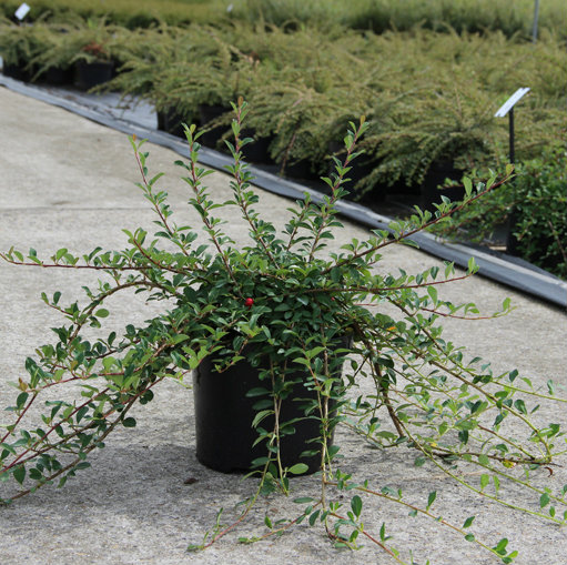Cotoneaster radicans 'Eichholz' 3