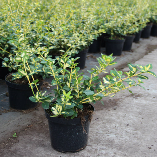 Euonymus fort. Blondy®  3
