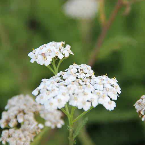 Achillea mill. 'Weisser Beauty' 3