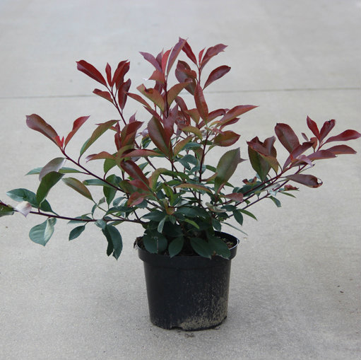 Photinia fraseri 'Red Robin' 5