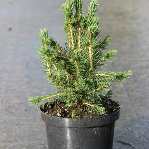Picea abies 'Tompa' 5