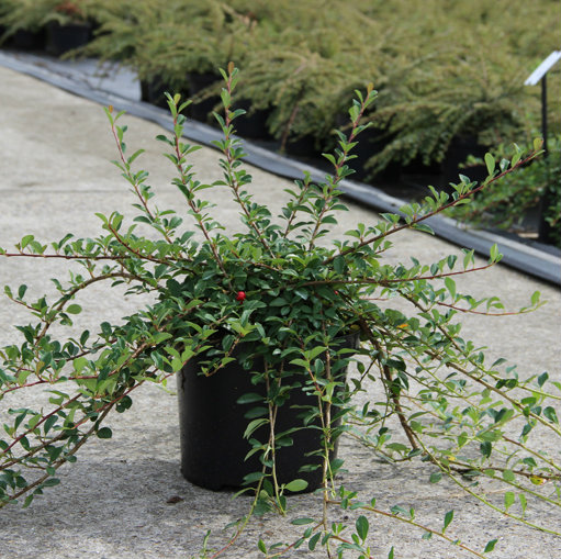 Cotoneaster radicans 'Eichholz' 5