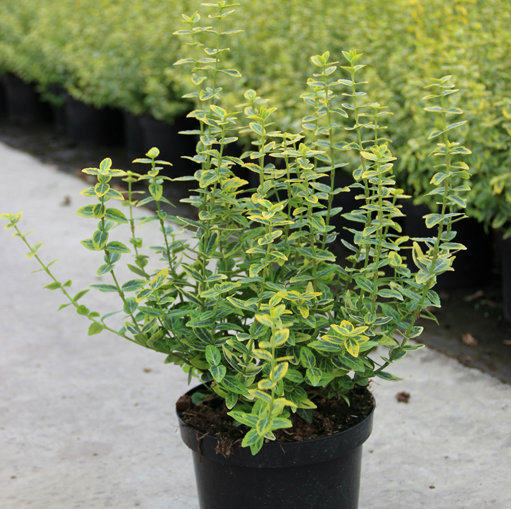 Euonymus fort. 'Emerald 'n' Gold'. 5