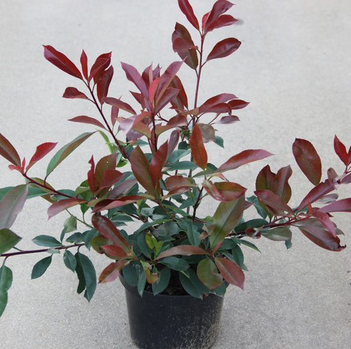 Photinia fraseri 'Red Robin' 6