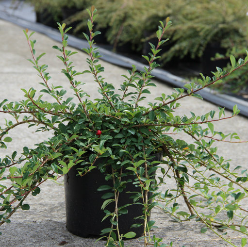 Cotoneaster radicans 'Eichholz' 6