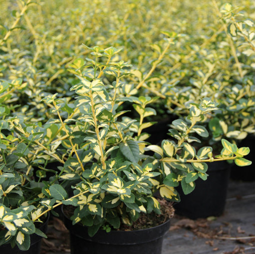 Euonymus fort. Blondy®  5